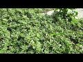 Фрагмент с конца видео ПОРТУЛАК, сорняк, который укрепляет иммунитет и лечит от 100 болезней. Полезные советы