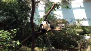 Panda Stuck On Tree Video