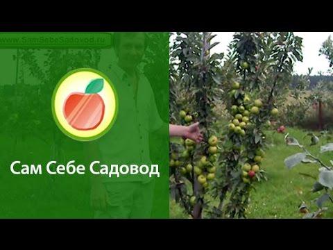 Яблоня колонновидная