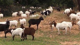 В США козы помогают людям бороться с лесными пожарами (20.05.2019 10:40)
