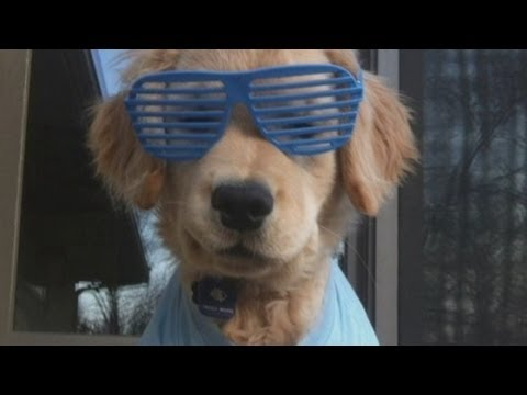 Watch Is this the world's cutest dog? Blind golden retriever puppy Ray Charles becomes online star