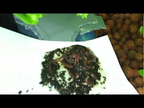 Adding Red Wiggler Worms to an Indoor Aquaponic System