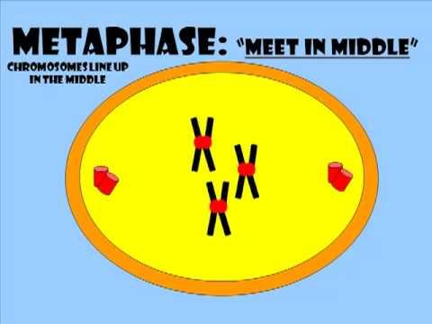 Mitosis Animation