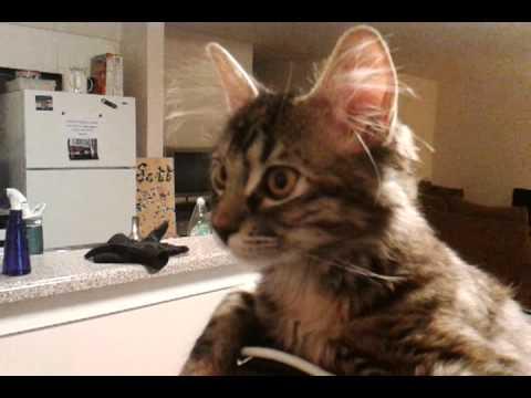 Кот — головной убор, головосед и помощник за компьютером