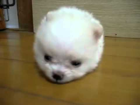 Cotton ball doggy!