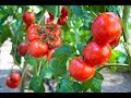 Народный метод защиты томатов от фитофтороза проверен годами и + питание !!!!