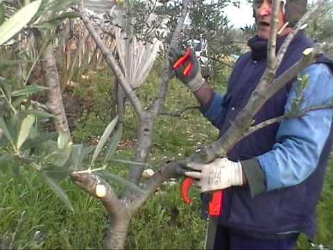 lezioni di giardinaggio-lez25-parte prima-ulivo potatura e cure .mpg