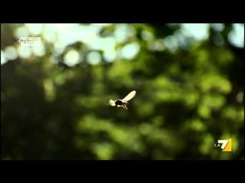 MISSIONE NATURA 24/07/2011 - L'accoppiamento delle mosche