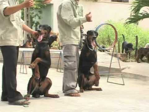 Phóng sự về Cách huấn luyện chó như thế nào