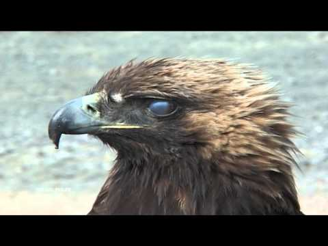 Golden Eagle Attacks A Boy