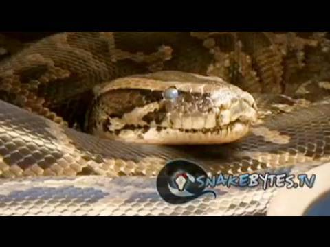 Snake Bytes TV - Snake Soap Opera
