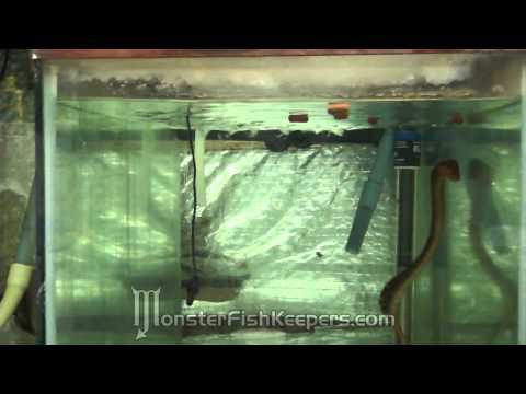 Feeding Hikari Jumbo Carnisticks : Freshwater Moray Eel : Gymnothorax polyuranodon : HD Quality