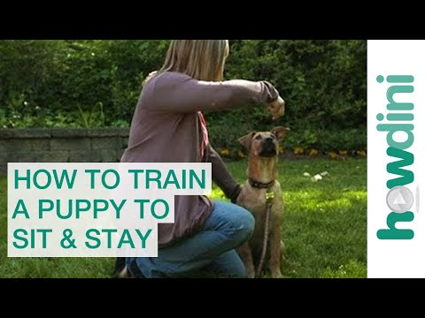 How to Train a Puppy to Sit and Stay - Obedience Training for Puppies