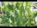 How To Plant Sugar Snap Peas & Vertically Grown Plants