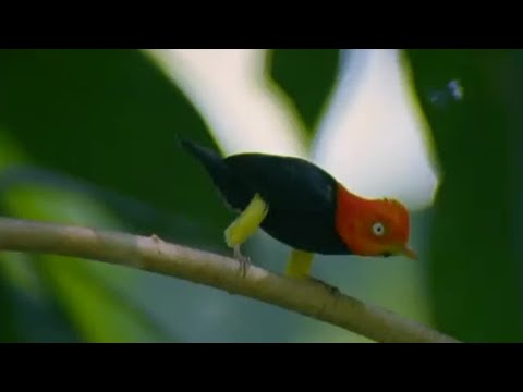 Glamorous Birds - Battle of the Sexes in the Animal World - BBC