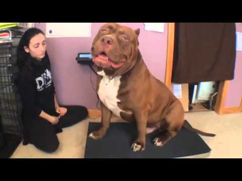 Biggest bully pitbull on earth ON SCALE 173lbs 17 months THE HULK! Of ddkline