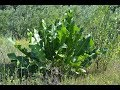 Волшебство листьев хрена: может вытягивать соль прямо через поры кожи