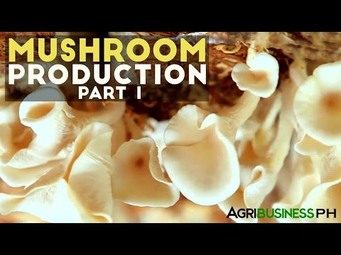 Mushroom production in the Philippines   Mushroom production Part 1 #Agribusiness