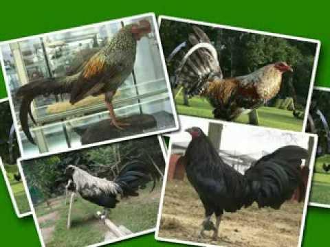 Gallos de Pelea su Historia y Algunas Fotos