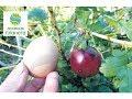 Крыжовник с куриное яйцо / Обрезка крыжовника / Как вырастить ягоду размером с куриное яйцо