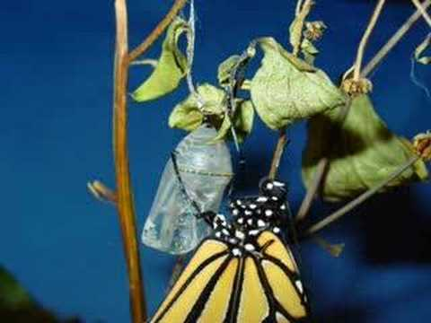Monarch Butterfly Emerges from Chrysalis, Time-Lapse