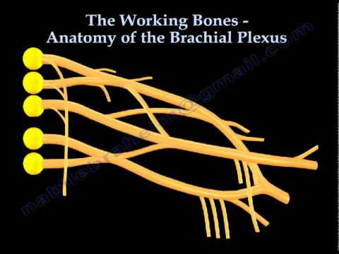 Anatomy Of The Brachial Plexus, The Working Bones- Everything You Need To Know - Dr. Nabil Ebraheim