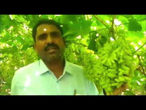 ओसाड माळरानावर फुलवली द्राक्षबाग