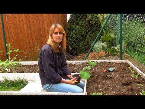 Купить рассаду тыквы