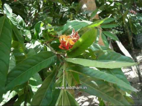 Medicinal Plants or Medicinal Herbs - Saraca asoca (Siddha Medicine) (Materia Medica)