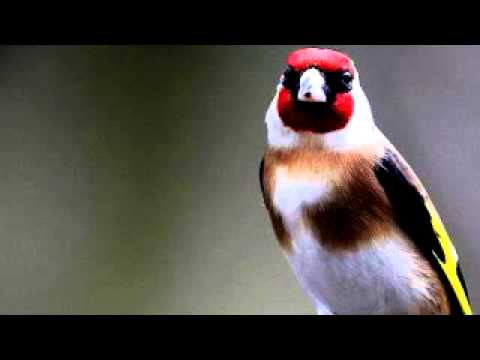 chant de chardonneret / goldfinch song -FfjgjA_p3vQ