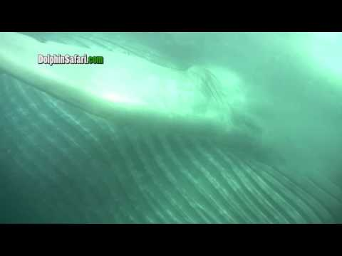 Blue whale gets eye to eye with whale watch passengers underwater off Dana Point.mp4