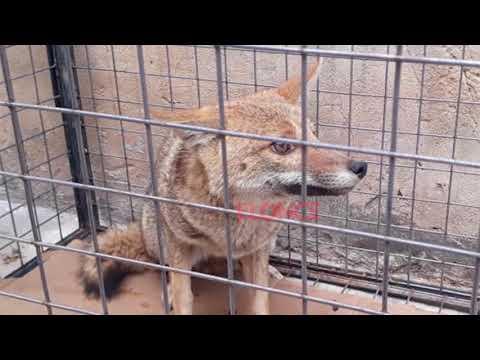 Así liberaron en su hábitat, al zorro gris hallado en el patio de una casa en Paraná