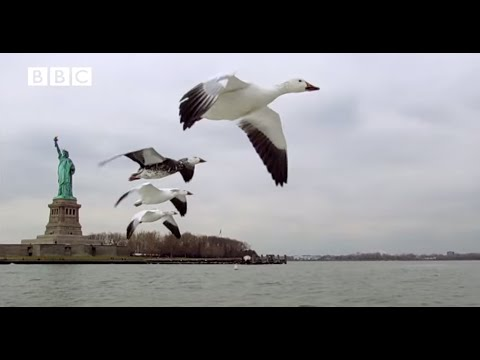 Earthflight - Snow Geese Birds Eye View of New York (Narrated by David Tennant)