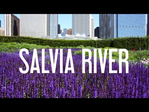 Thumbnail image for 'Lurie Garden Salvia River'