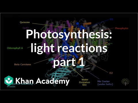 Photosynthesis: Light Reactions 1