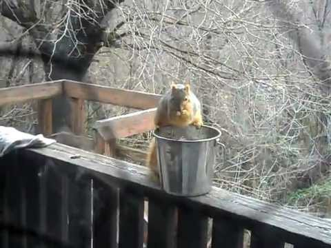 Fat Squirrel Steals Compost, Leaps Into Tree, and Torments Pets