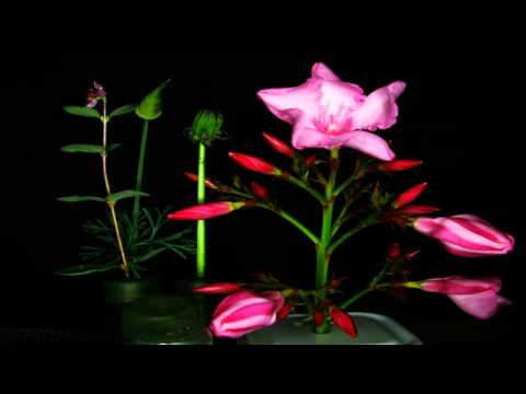 Pink Oleander Blossoms opening in timelapse (FullFrame HD) V11467a