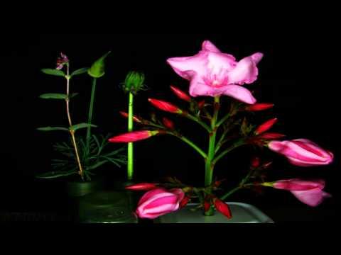 Pink Oleander Blossoms opening in timelapse (FullFrame HD) V11467a