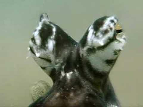 الأخطبوط المقلد الذي يقلد الكائنات البحرية