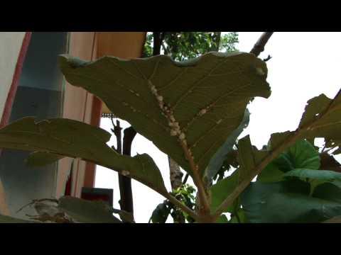 Medicinal Insect on Sagon (Tectona grandis) © Pankaj Oudhia