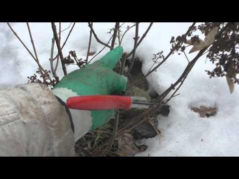 Гортензия метельчатая купить саженцы в Москве