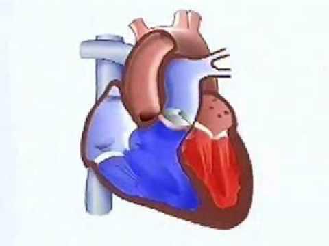 Biologia - Fisiologia - O coração