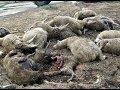 Волки Нападают На Села. 2013