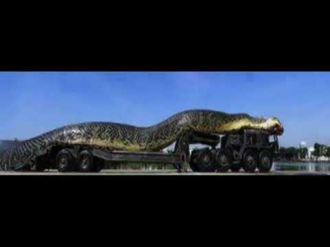 شاهد بالفيديو: أكبر ثعبان في العالم.. مذهل