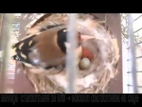 Jilguero Parva   chardonneret de lotfi   chardonneret né en cage baguée 2012 e 26 et 27   YouTube