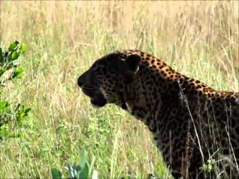 Cheetah vs leopard in South Africa