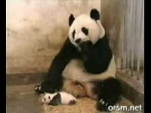 Sneezing panda in ultra-slow motion!