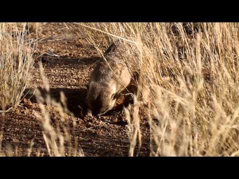 ナミブ砂漠でミーアキャット発見!