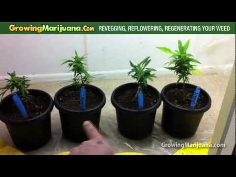 Revegging, Reflowering, Regenerating Your Cannabis Plant - Growing Marijuana