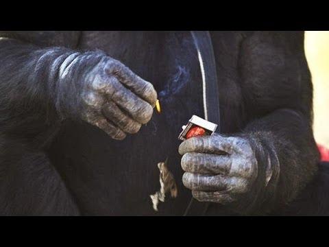 اغرب فيديو ستشاهده .. قرد شمبانزي يطبخ ويعزف و يدردش عبر الكمبيوتر